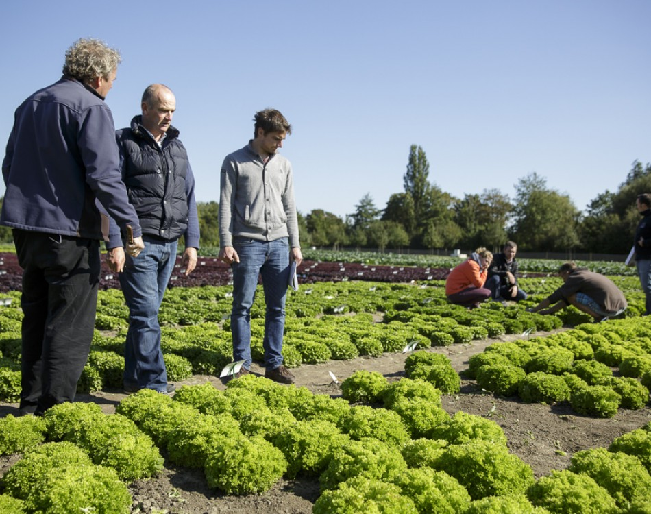 Lettuce innovation KNOX on the demo field in Fijnaart