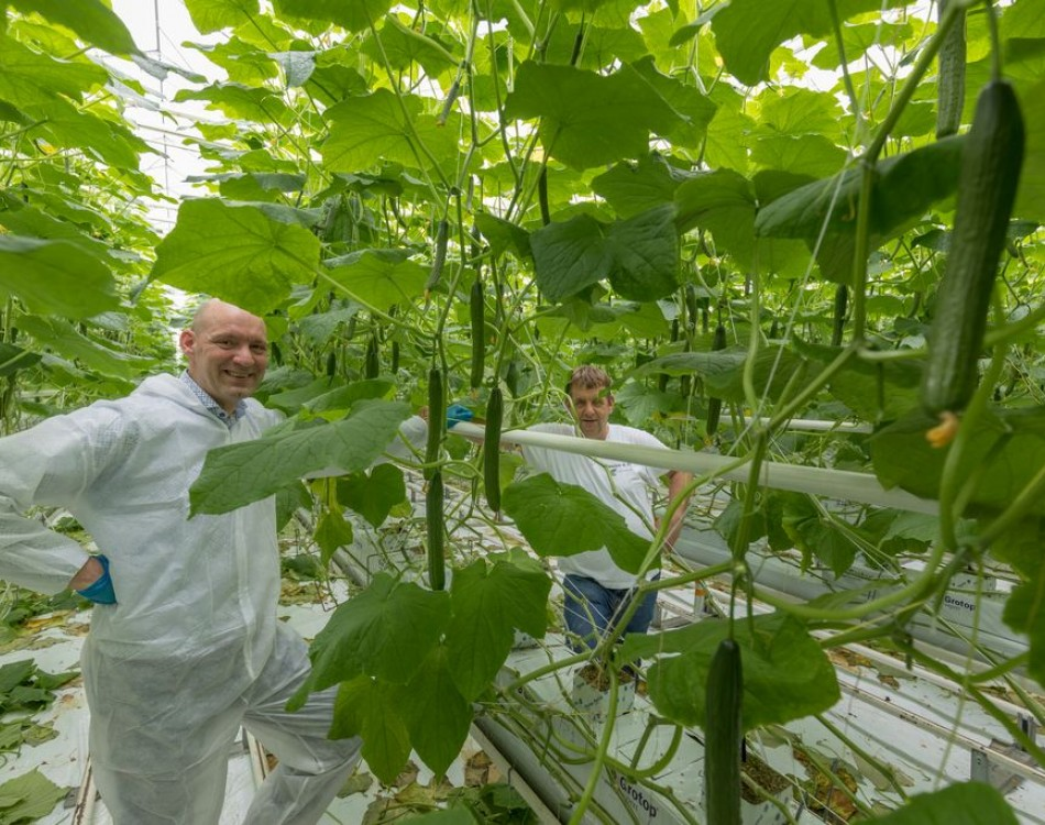 high-wire cucumber production Rijk Zwaan