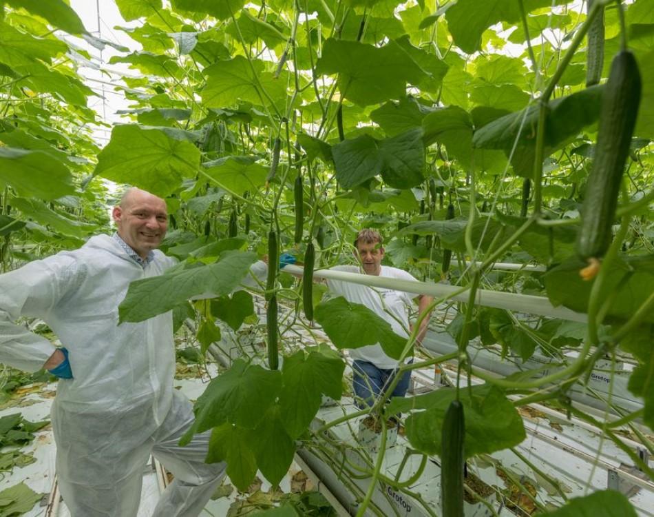 high-wire cucumber production Rijk Zwaan